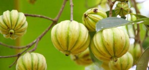 Garcinia Cambogi Tree - Garcinia Cambogia Side Effects