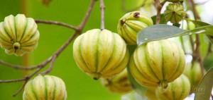Garcinia Cambogi Tree - Garcinia Cambogia Side Effects